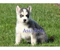 Siberian husky puppies price in Noida, Siberian husky puppies for sale in Noida