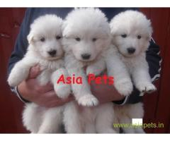 white german shepherd puppy for sale in delhi