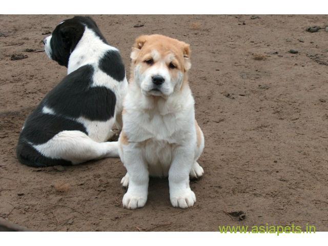Alabai puppy price in nashik, Alabai puppies  for sale in nashik