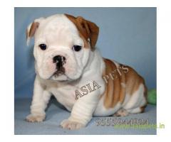 Bulldog puppies  price in nashik, Bulldog puppies  for sale in nashik