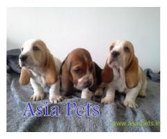 Basset hound puppies price in Nagpur, Basset hound puppies for sale in Nagpur