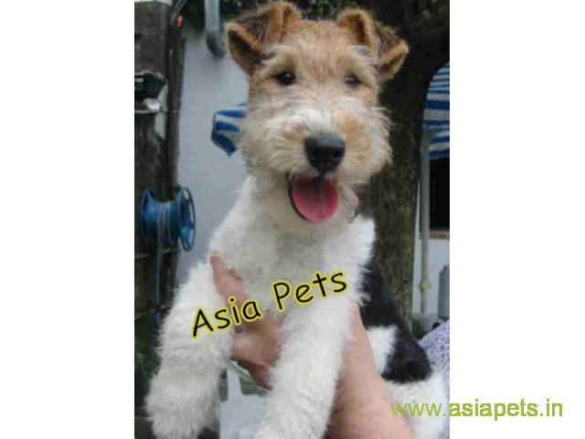Fox Terrier puppies  price in nashik, Fox Terrier puppies  for sale in nashik