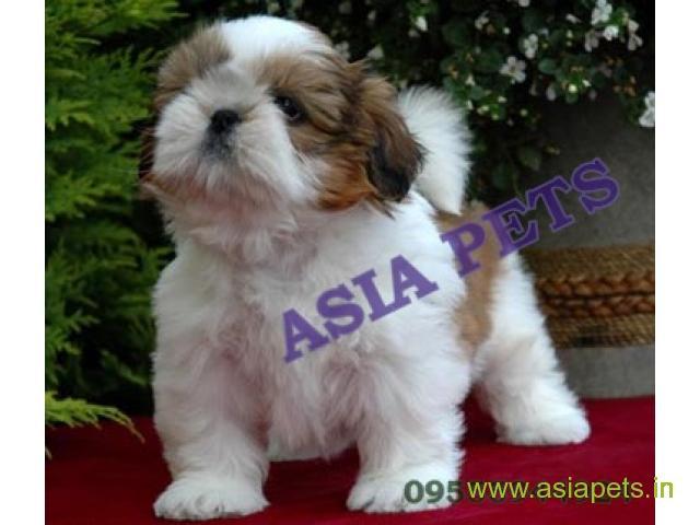 Shih tzu puppies price in Nagpur, Shih tzu puppies for sale in Nagpur