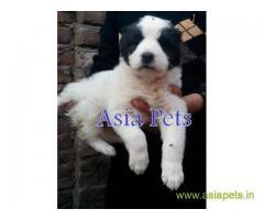 Alabai puppies price in mumbai, Alabai puppies for sale in mumbai