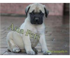 Bullmastiff puppies  price in Mysore , Bullmastiff puppies  for sale in Mysore