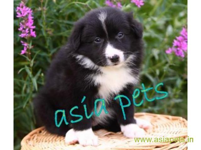 Collie puppies price in mumbai, Collie puppies for sale in mumbai