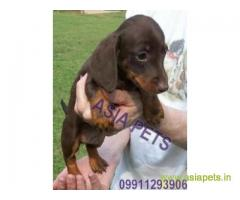Dachshund puppies  price in Mysore , Dachshund puppies  for sale in Mysore