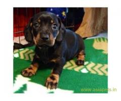 Dachshund puppies price in madurai, Dachshund puppies for sale in madurai