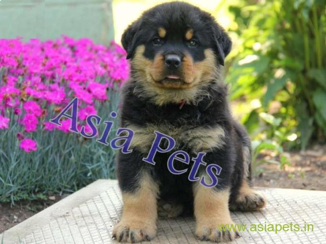 Rottweiler Puppies Price In Madurai Rottweiler Puppies For Sale