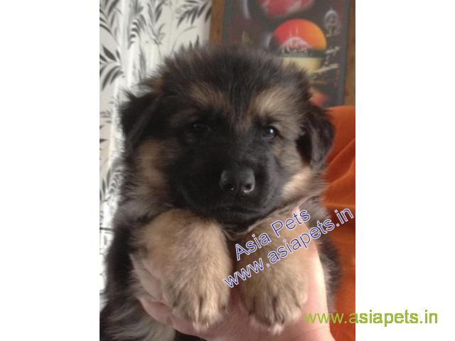 German Shepherd puppies price in Lucknow, German Shepherd