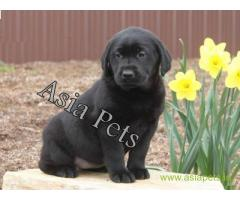 Labrador puppies  price in Lucknow, Labrador puppies  for sale in Lucknow