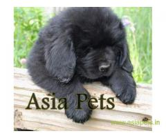 Newfoundland puppies  price in Lucknow, Newfoundland puppies  for sale in Lucknow
