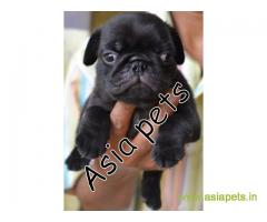 Pug puppies  price in lucknow, Pug puppies  for sale in lucknow