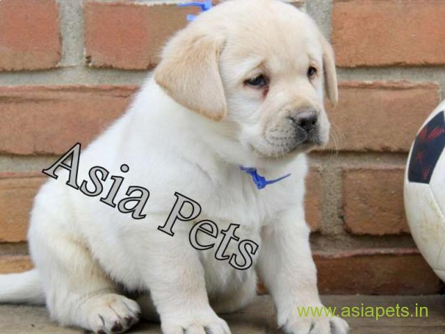Labrador Puppies Price In Kolkata Labrador Puppies For Sale In Kolkata