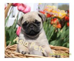Pug puppies  price in kolkata, Pug puppies  for sale in kolkata