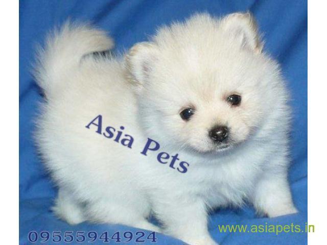 Pomeranian puppies  price in kolkata, Pomeranian puppies  for sale in kolkata
