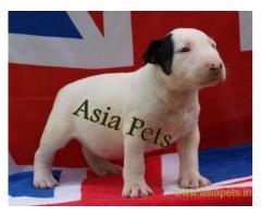 Bullterrier puppies price in kochi, Bullterrier puppies for sale in kochi