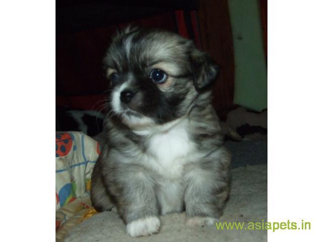 Tibetan spaniel puppies price in kochi, Tibetan spaniel puppies for sale in kochi