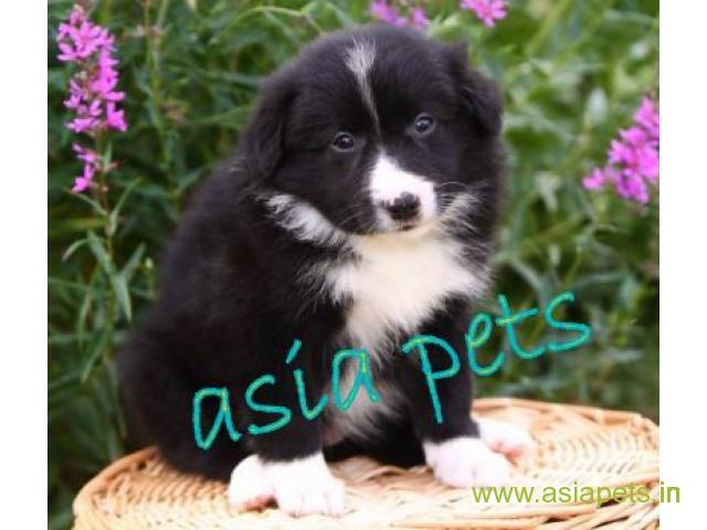 Collie puppies price in kanpur, Collie puppies for sale in kanpur