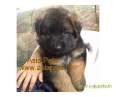 German Shepherd puppies price in kanpur, German Shepherd puppies for sale in kanpur