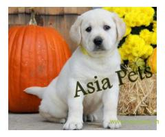 Labrador puppies price in kanpur, Labrador puppies for sale in kanpur