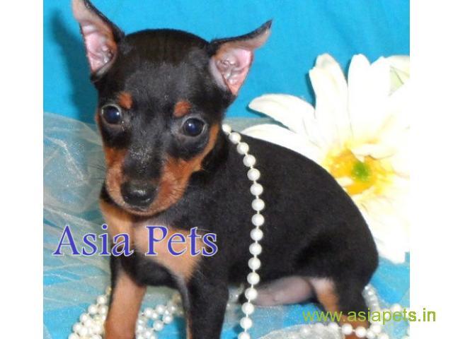 Miniature pinscher puppies price in kanpur, Miniature pinscher puppies for sale in kanpur
