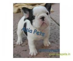 French Bulldog puppies price in Jodhpur , French Bulldog puppies for sale in Jodhpur