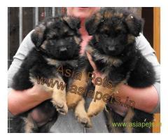 German Shepherd puppies price in Jodhpur , German Shepherd puppies for sale in Jodhpur