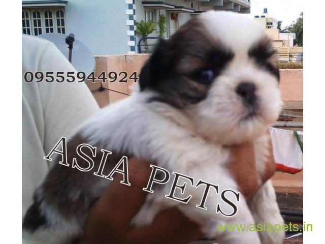 Shih tzu puppies price in kanpur, Shih tzu puppies for sale