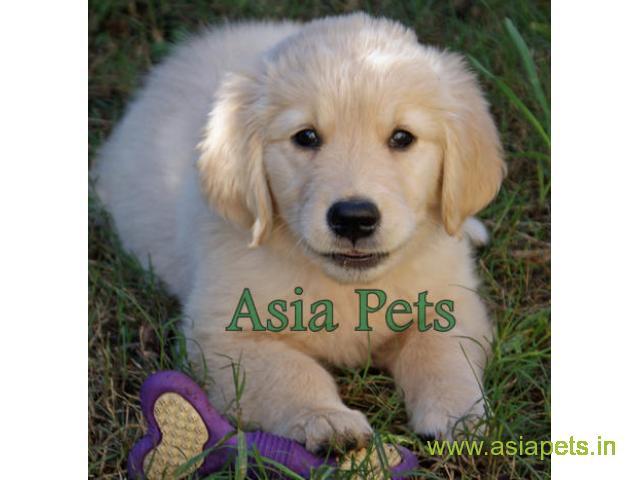 Golden Retriever Puppies For Sale In Jodhpur Golden Retriever