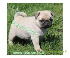 Pug puppies price in Jodhpur , Pug puppies for sale in Jodhpur