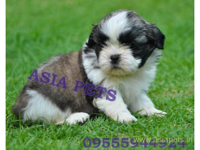 Shih tzu puppies price in Jodhpur , Shih tzu puppies for