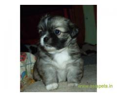 Tibetan spaniel puppies price in Jodhpur , Tibetan spaniel puppies for sale in Jodhpur