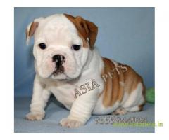 Bulldog puppy price in Bhubaneswar , Bulldog puppy for sale in Bhubaneswar
