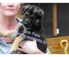 German Shepherd puppy price in Bhubaneswar , German Shepherd puppy for sale in Bhubaneswar