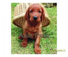Irish setter puppy price in Bhubaneswar , Irish setter puppy for sale in Bhubaneswar