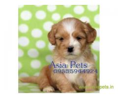 Lhasa apso puppy price in Bhubaneswar , Lhasa apso puppy for sale in Bhubaneswar