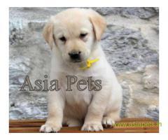 Labrador puppy price in Bhubaneswar , Labrador puppy for sale in Bhubaneswar
