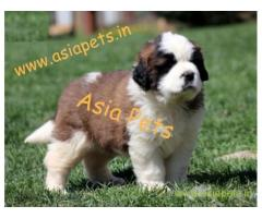 Saint bernard puppy price in Bhubaneswar , Saint bernard puppy for sale in Bhubaneswar