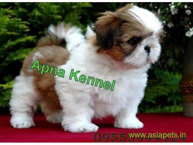Shih tzu puppy price in Bhubaneswar , Shih tzu puppy for sale in Bhubaneswar