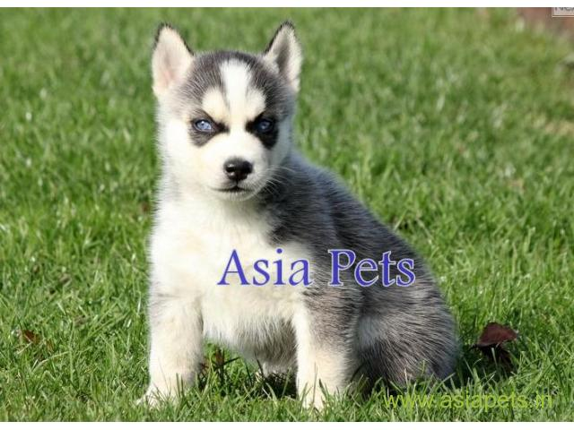 Siberian Husky Puppy Price In Bhubaneswar Siberian Husky Puppy For