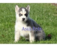 Siberian husky puppy price in Bhubaneswar , Siberian husky puppy for sale in Bhubaneswar