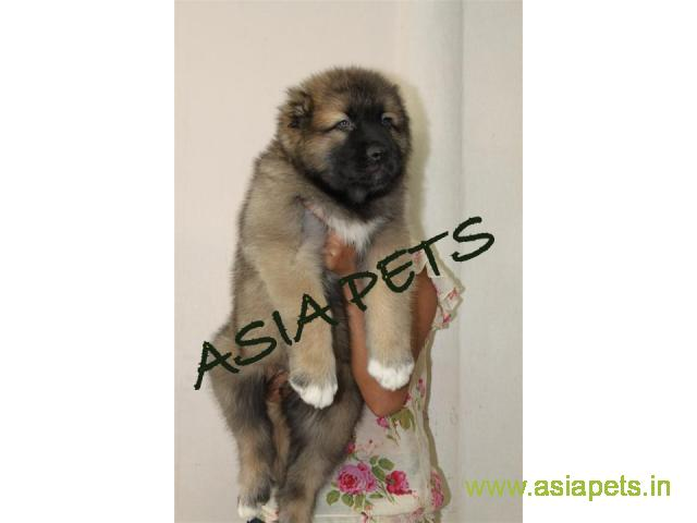 Cane corso pups price in Dehradun, Cane corso pups for sale in Dehradun