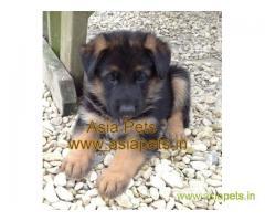 German Shepherd pups price in Dehradun, German Shepherd pups for sale in Dehradun