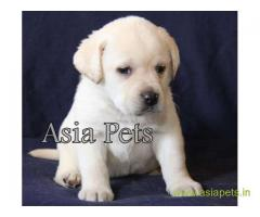Labrador pups price in Dehradun, Labrador pups for sale in Dehradun