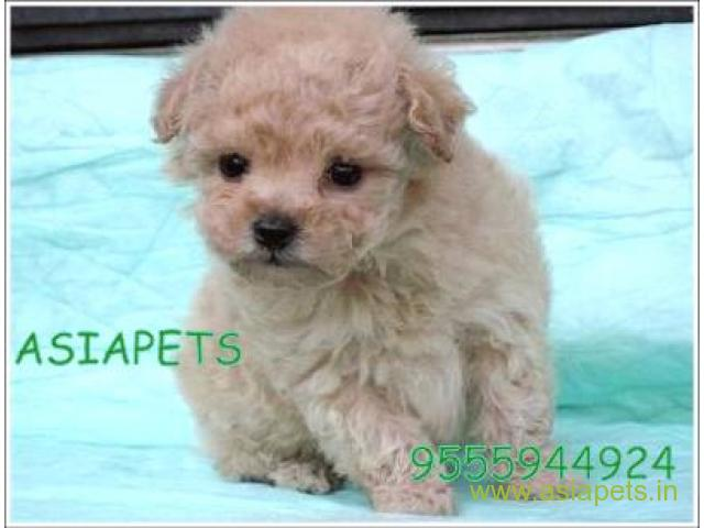 Pomeranian Pups Price In Dehradun Pomeranian Pups For Sale In Dehradun