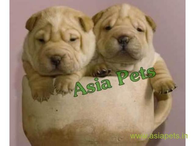 Shar pei pups price in faridabad, Shar pei pups for sale in faridabad