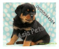 Rottweiler pups price in Dehradun, Rottweiler pups for sale in Dehradun