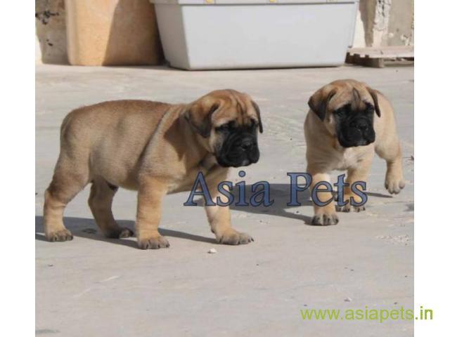 Bullmastiff Puppies Price In Faridabad Bullmastiff Puppies For Sale