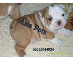 Bulldog puppies price in Faridabad, Bulldog puppies for sale in Faridabad
